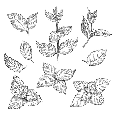 Menta mano illustrazione schizzo vettoriale. Peppermint inciso disegno di mentolo lascia isolato su sfondo bianco. Foglia pianta menta a base di erbe Vettoriali
