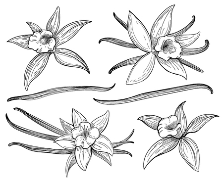 aroma: Vanilla pods or sticks hand drawing sketches isolated on white background. Vanillas doodle spicy herbs vector. Vanilla plant flower aroma illustration Illustration