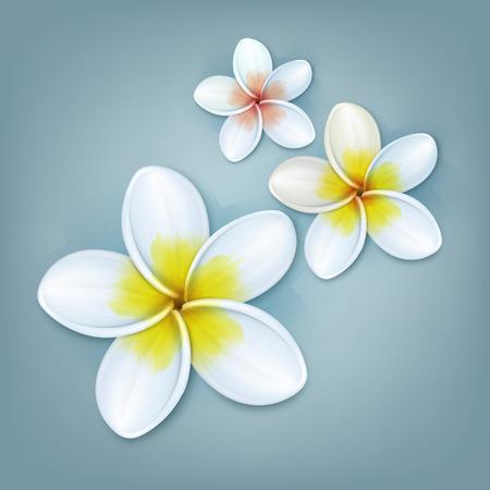 srilanka: White Plumeria flowers