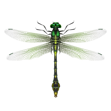 tailed: Gomphus vulgatissimus dragonfly