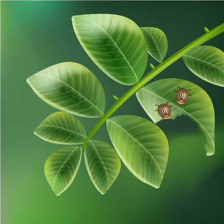 Doryphore de la pomme coléoptères Banque d'images - 76777090