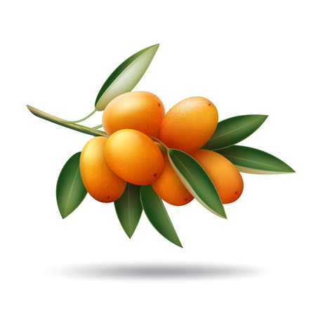 Kumquat branch with orange fruits and green leaves