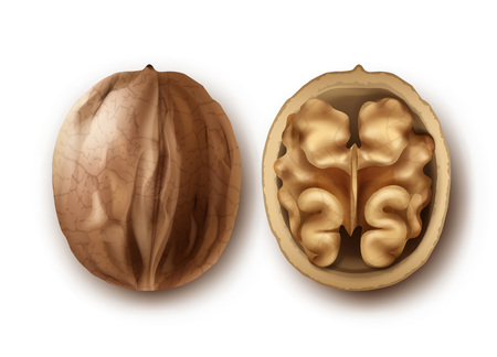 Vector two whole and cracked walnuts close up side view isolated on white background Illustration