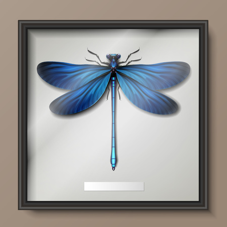 damsel: Vector framed realistic blue Calopteryx virgo dragonfly hanging on wall close up top view
