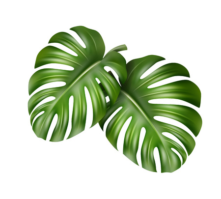 philodendron: Two Monstera leaves