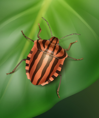 graphosoma: Striped shield bug