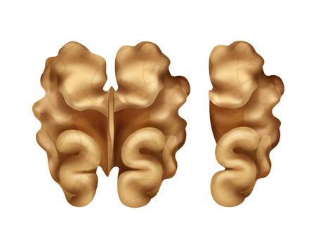 intact: Two walnut kernels Illustration
