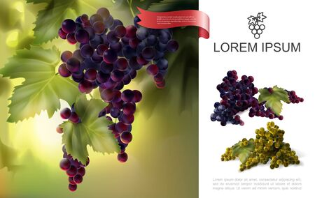 Fresh natural grapes concept with bunches of red and white grapes in realistic style vector illustration Ilustração