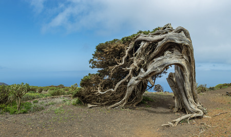 Sabina, Juniperus turbinata canariensis twisted by the wind. La Dehesa. Frontera Rural Park. El Hierro. Canary Islands. Spain.