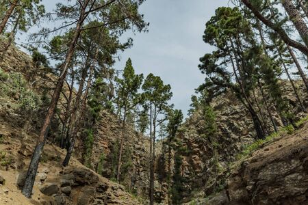 Stony path at upland surrounded by pine trees at sunny day. The slopes of a narrow deep gorge covered with centuries-old pines. Rocky tracking road in mountain area with needle leaf woods. Tenerife.