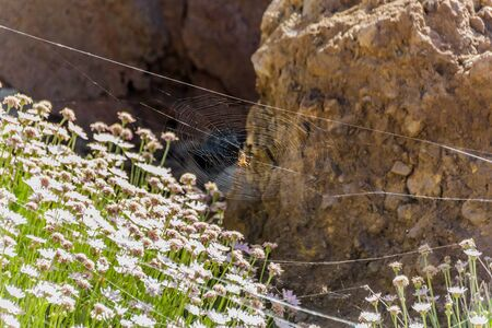 Argiope trifasciata spider hid in the center of its web above the endemic mountain flowers. Close up, blurred lava rocks in the background. Tenerife, Canary Islands. Stockfoto