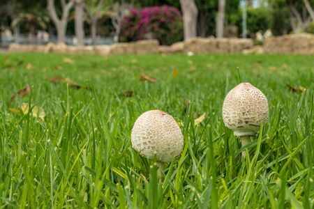 Close-Up Of wild Mushroom Growing On Field. Bright green grass and yellow dry leafs of ficus.. Selective focus-