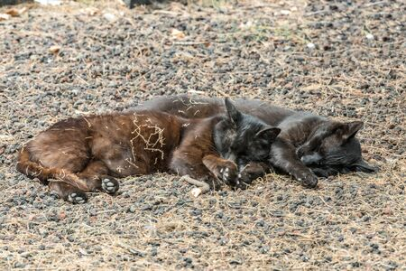 Zwei wilde Katzen amüsieren sich in der Nähe des Strandes Caleta auf der Insel La Gomera. Paar schläft süß und sonnt sich auf porösen Lavakieseln. Die Aufnahme erfolgt aus großer Entfernung mit einem Long-Focus-Objektiv. Standard-Bild