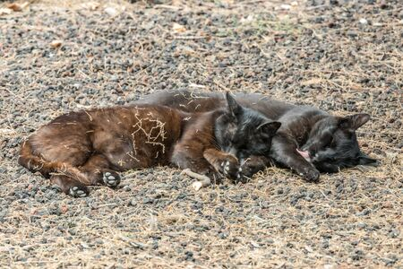 Two feral cats having a good time near the Caleta beach in La Gomera Island. Couple sleeps sweetly, basking on porous lava pebbles. The shot is made from a long distance with a long-focus lens.