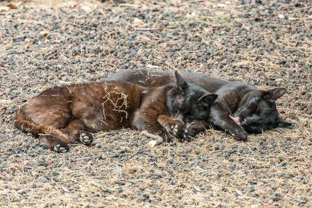 Zwei wilde Katzen amüsieren sich in der Nähe des Strandes Caleta auf der Insel La Gomera. Paar schläft süß und sonnt sich auf porösen Lavakieseln. Die Aufnahme erfolgt aus großer Entfernung mit einem Long-Focus-Objektiv.