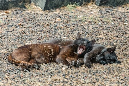 Two feral cats having a good time near the Caleta beach in La Gomera Island. Pacified cat yawns sweetly, basking on porous lava pebbles. The shot is made from a long distance with a long-focus lens.