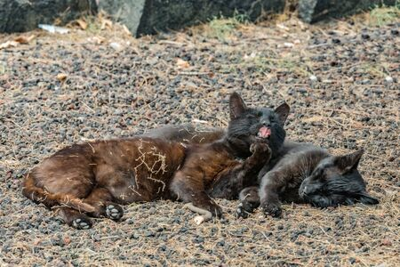 Two feral cats having a good time near the Caleta beach in La Gomera Island. Female cat licking paw, basking on porous lava pebbles. The shot is made from a long distance with a long-focus lens.