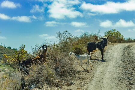 A few goats grazing on the surrounding slopes are crossing the road and are looking at the car of travelers with surprise. Mountains El Rio, Tenerife, Canary Islands, Spain.