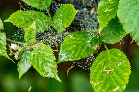 Cobweb and raindrops on green leaves. Macro close-up, selective focus. Relict forest on the slopes of the oldest mountain range of the island of Tenerife. Paradise for hiking. Travel Postcard. Canary.