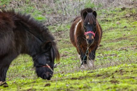 Two grazing pony with fern and palm branches on background. Horse walking on green grass and stones. A cloudy but warm and pleasant winter day in the north of Tenerife Aguamansa, Spain.