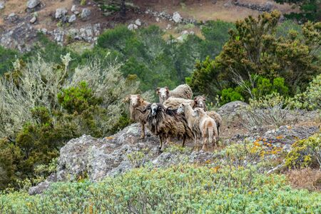 A small flock of sheep is located on a steep mountain slope surrounded by green vegetation. Shot with a telephoto lens from a sick distance. La Gomera, Canary Islands, Spain.
