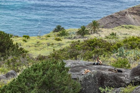 A small herd of goats is located on a steep mountain slope on the huge rock surrounded by green vegetation. Shot with a telephoto lens from a sick distance. La Gomera, Canary Islands, Spain.