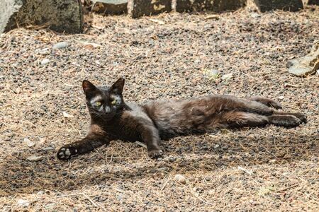 The black cat, carelessly basking on warm lava pebbles and looks at the camera. Shot with a telephoto lens. Playa De Caleta, northeast of La Gomera Island. Canary islands, Spain. Imagens
