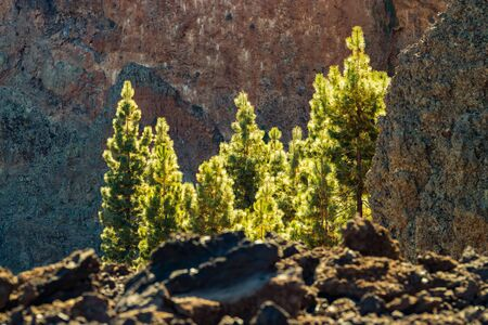 Young pine trees lit by the warm rays of the sun surrounded by vertical basalt rocks. Mountains and pine tree forest near volcano Teide. Teide National Park, Canary Islands, Spain. 2000m altitude.