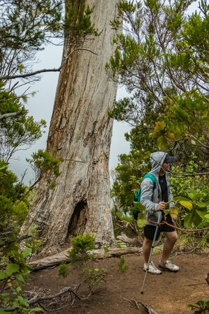 A young traveler in the relic forest. Slopes of the ancient Anaga mountain range on the island of Tenerife. Giant laurels and heather tree along narrow winding paths. Paradise for hiking. Canary. Фото со стока