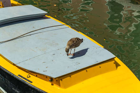 Seagull model posing on the yellow taxi boat in one of Canal in Venice, Italy during sunny day. Reklamní fotografie