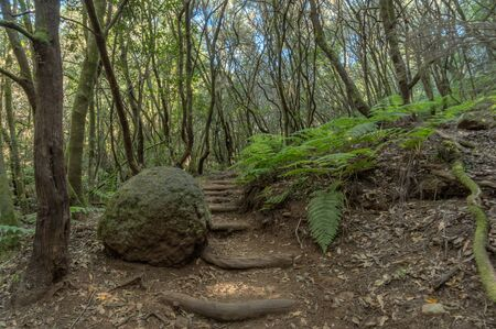 Relict forest on the slopes of the mountain range of the Garajonay National Park. Giant Laurels and Tree Heather along narrow winding paths. Paradise for hiking. Travel postcard. La Gomera, Spain. Фото со стока