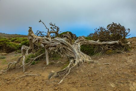 Gnarled Giant juniper trees twisted by strong winds. Trunks creep on the ground. El Sabinar, Island of El Hierro