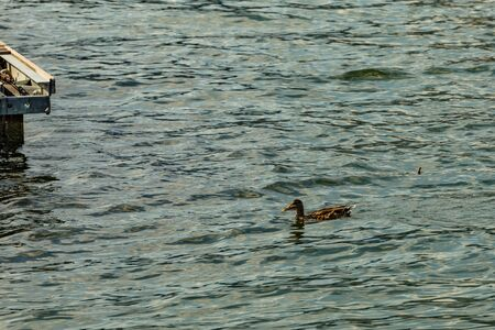 Como, ITALY - August 4, 2019: Variegated duck swimming along the shore of Lake Como in the center of beautiful Italian Como city. Warm sunny summer day in very popular holiday destination.