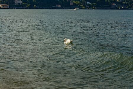 Como, ITALY - August 4, 2019: White swan swimming along the shore of Lake Como in the center of beautiful Italian Como city. Warm sunny summer day in very popular holiday destination. 版權商用圖片