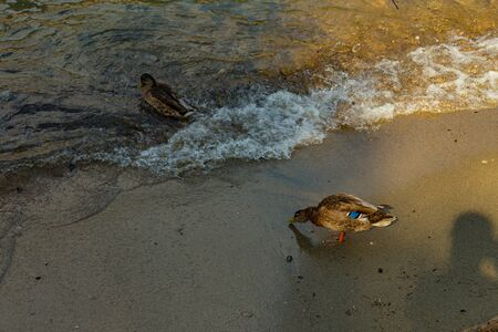 Como, ITALY - August 4, 2019: Variegated duck standing on the shore of Lake Como in the center of beautiful Italian Como city. Warm sunny summer day in very popular holiday destination 版權商用圖片