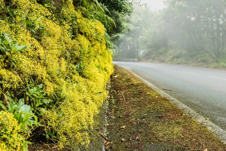 A scattering of beautiful yellow flowers along the forest roadside vanishing in the fog. A warm summer day and the freshness of a moist relic endemic forest. Hiking by Anaga park in Tenerife.