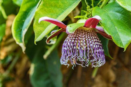 Fleur de la passion en fleurs avec fleur rouge - passiflore - sur feuilles vertes. La passiflore, également connue sous le nom de passiflore ou vigne de la passion, est un genre d'environ 550 espèces de plantes à fleurs. Ténérife. Banque d'images