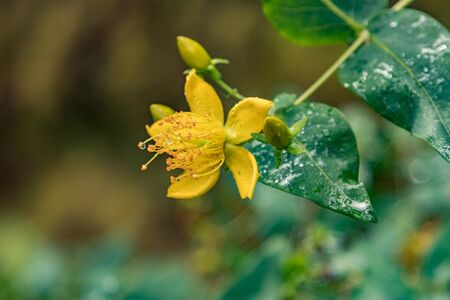 Close up selective focus. Bloomy species of Hypericum known by the common name Canary Islands St. Johns wort. Forest in the blurred background. National Park Garajonay, La Gomera, Spain.