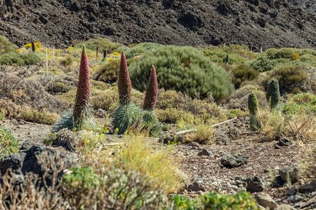 Beautiful flower Tajinaste - Echium wildpreti. The endemic flower is a symbol of the Teide National Park. Like a good honey plant, it is always surrounded by a swarm of bees. Tenerife.