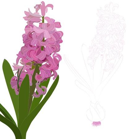벡터 일러스트 레이 션. 핑크 히아신스. 흰색 배경에 꽃의 고립 된 컨투어.