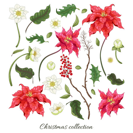 Set of elements of poinsettia and hellebore flowers and berries to create designs. Christmas collection. Vector Illustration