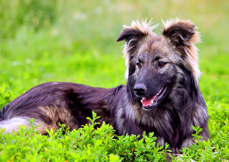 fluffy: Perro mullido grande jugando en la hierba Foto de archivo