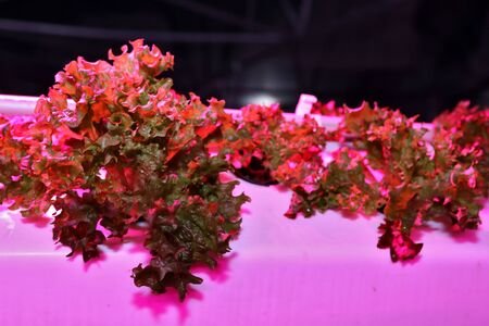 Growing plants aeroponics. Unique production of greenery and plants. Aeroponic system in plant production. An innovative method of growing plants a round year. Greenhouses for growing plants in winter. Drop watering plants. Greenhouses.