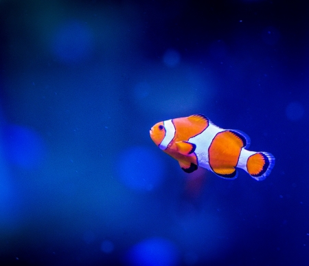 clown fish: Clown fish swimming in blue waters Stock Photo