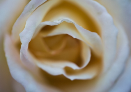White Rose with Subtle Blur