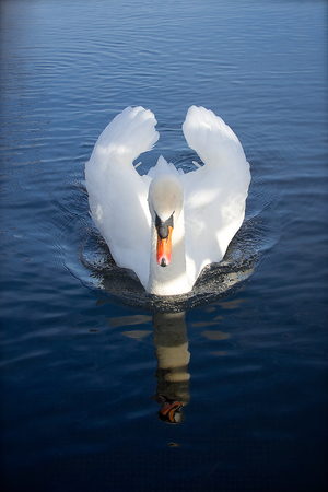 Swan gliding on London lake with reflection photo