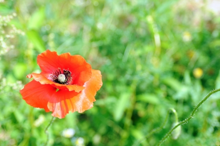 One red poppy on the green background Stock Photo - 19163156