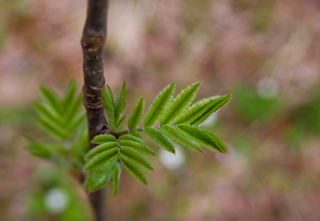 young spring leaves on a branch of rowan photo