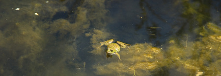 frog in the water pond Stock Photo