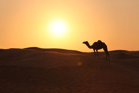 arabia: Lonely Camel Standing In An Evening Desert Sun
